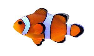 Clownfish (Amphipron ocellaris)
