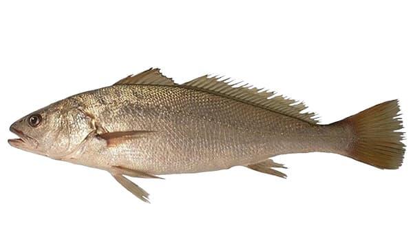 Granyöz - Argyrosomus regius