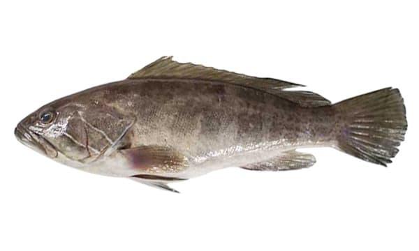 Lahos - Lagos - Epinephelus aeneus