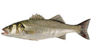 Sea Bass (Dicentrarchus labrax)